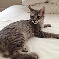 Adopt A Pet :: Sasuke - New York, NY