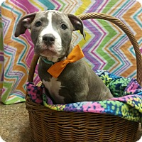 Adopt A Pet :: Hercules *PENDING* - Lima, OH