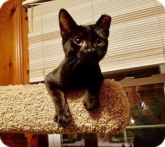 Domestic Shorthair Kitten for adoption in Colmar, Pennsylvania - Boo Bear