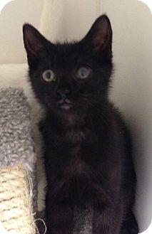 Domestic Shorthair Kitten for adoption in Putnam Hall, Florida - Jackson