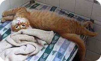 Maine Coon Kitten for adoption in Davis, California - Nod