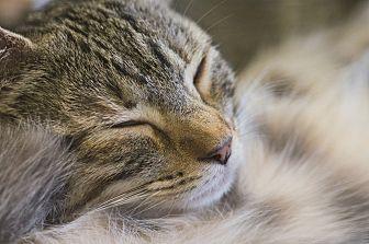 Domestic Shorthair Cat for adoption in Houston, Texas - WIDGET