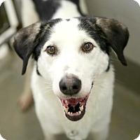 Borzoi Mix Dog for adoption in Kettering, Ohio - Wanda