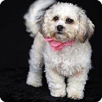 Shih Tzu/Poodle (Miniature) Mix Puppy for adoption in SAN PEDRO, California - Helen