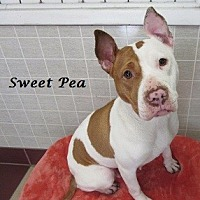 Adopt A Pet :: Sweet Pea - Bartonsville, PA