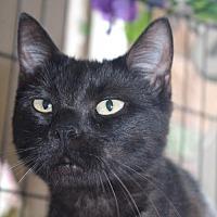 Adopt A Pet :: Shadow - Longview, WA