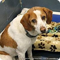 Adopt A Pet :: Eli - Mahopac, NY