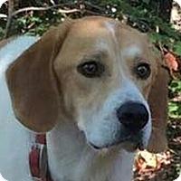 Adopt A Pet :: Cracker - Brattleboro, VT