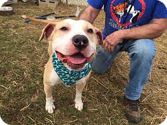 Pit Bull Terrier Dog for adoption in Fulton, Missouri - Buzz *Illinois