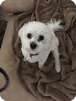 Bichon Frise Dog for adoption in Glastonbury, Connecticut - Max