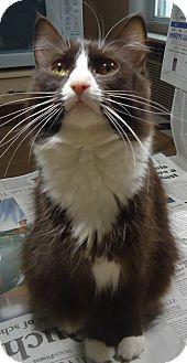 Domestic Shorthair Cat for adoption in Riverside, Rhode Island - Diamond