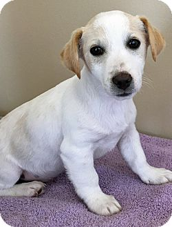 Jack Russell Terrier/Beagle Mix Puppy for adoption in Gahanna, Ohio - ADOPTED!!!   Phelps
