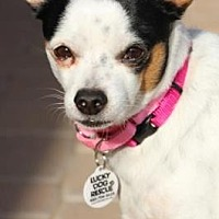 Chihuahua/Jack Russell Terrier Mix Dog for adoption in Scottsdale, Arizona - Bowser