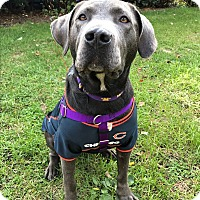 Pit Bull Terrier/Weimaraner Mix Dog for adoption in Frankfort, Illinois - Firefly