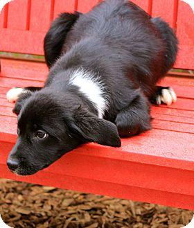 Border Collie Mix Puppy for adoption in E. Wenatchee, Washington - Noelle