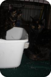 Calico Kitten for adoption in Acushnet, Massachusetts - Reese & Dia