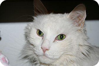 Maine Coon Cat for adoption in Scottsdale, Arizona - Puff