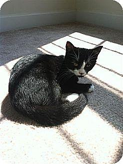 Domestic Shorthair Kitten for adoption in Huddleston, Virginia - Belle