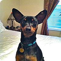 Adopt A Pet :: Jazzy - Nashville, TN