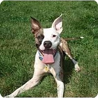 Adopt A Pet :: Dutchess - Chicago, IL