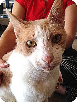 Domestic Shorthair Cat for adoption in Yukon, Oklahoma - Ozzy