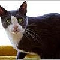 Domestic Shorthair Cat for adoption in Freeport, New York - Kong