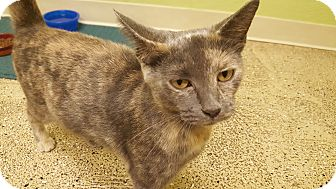 Domestic Shorthair Cat for adoption in Circleville, Ohio - Millie B