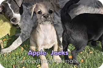 Chihuahua/Terrier (Unknown Type, Small) Mix Puppy for adoption in Rosamond, California - Apple Jacks