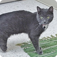 Domestic Shorthair Cat for adoption in Chambersburg, Pennsylvania - Daisy