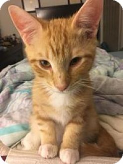 Domestic Shorthair Kitten for adoption in Mission Viejo, California - Squirt