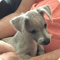 Adopt A Pet :: Dinky - Fort Collins, CO