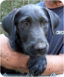 Airedale Terrier/Shepherd (Unknown Type) Mix Puppy for adoption in Harrison, Arkansas - Yeddi