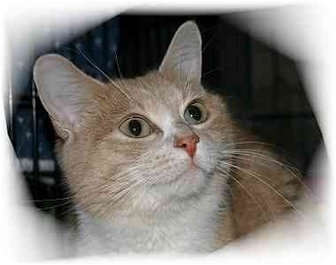 Domestic Shorthair Cat for adoption in Montgomery, Illinois - Ginger