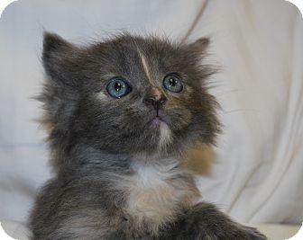 Domestic Mediumhair Kitten for adoption in Ogden, Utah - Cheyenne