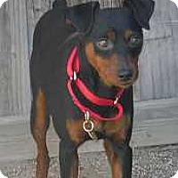 Adopt A Pet :: Indy - Oceanside, CA