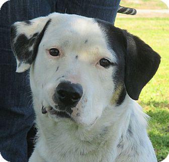 Dalmatian/Bernese Mountain Dog Mix Dog for adoption in Turlock, California - Angie
