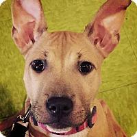 Adopt A Pet :: Beyonce - Charlotte, NC