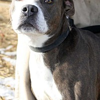 Bulldog Mix Dog for adoption in Fort Madison, Iowa - Hunk