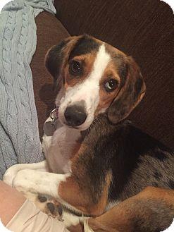 Beagle Mix Dog for adoption in oklahoma city, Oklahoma - Lina