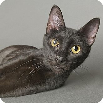 Domestic Shorthair Cat for adoption in Wilmington, Delaware - Emmie
