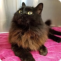 Domestic Longhair Cat for adoption in Fresno CA, California - Miss Kitty