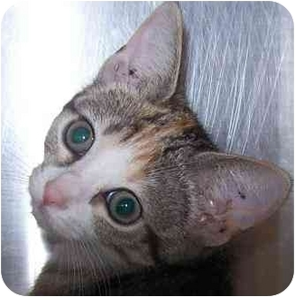 Domestic Shorthair Kitten for adoption in Annapolis, Maryland - Roxie