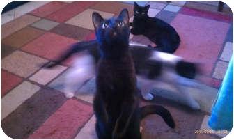 Domestic Shorthair Cat for adoption in Laguna Woods, California - Cid