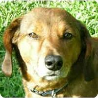 Adopt A Pet :: Shasta - Indianapolis, IN