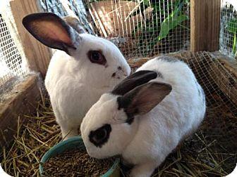 New Zealand for adoption in Paradis, Louisiana - Pippin (& Jellybean)
