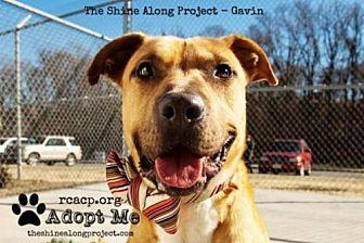 Labrador Retriever/Pit Bull Terrier Mix Dog for adoption in Richmond, Virginia - Gavin