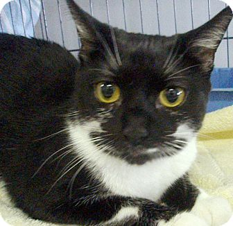 Domestic Shorthair Cat for adoption in Germansville, Pennsylvania - Hannah