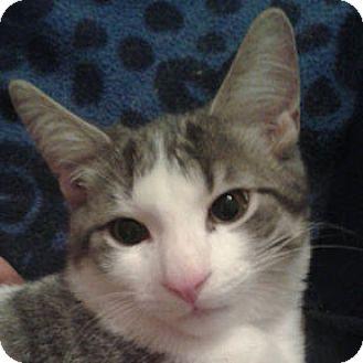 Domestic Shorthair Kitten for adoption in Verdun, Quebec - Push