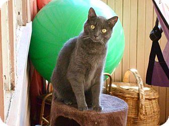 Domestic Shorthair Cat for adoption in Acushnet, Massachusetts - Kai