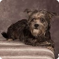 Adopt A Pet :: Shilo - Salem, OR